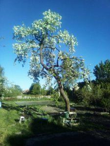 Фото дерева после омолаживающей обрезки